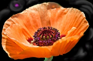 """Poppy"" iPhone painting by KathyClem ©2010"